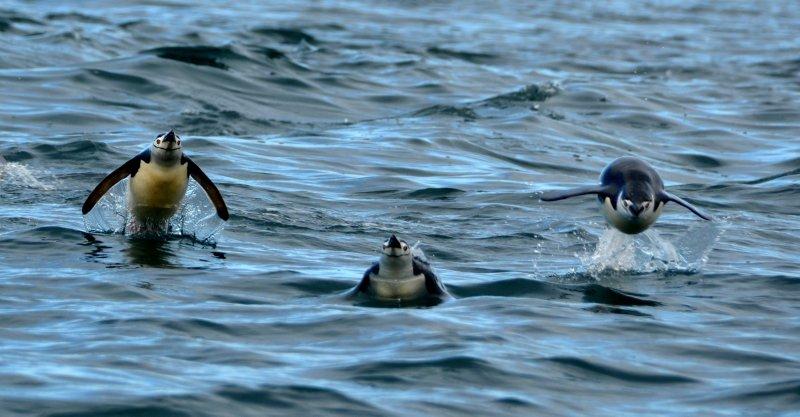 Chinstrap Penguins Take Flight