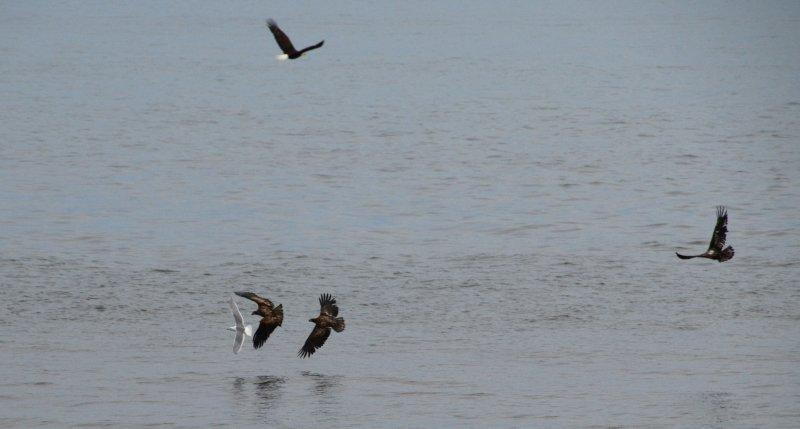 Eagle and Gull 3
