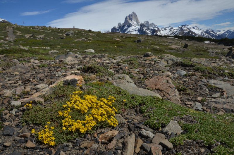 Alpine Flowers and Cerro Fitz Roy