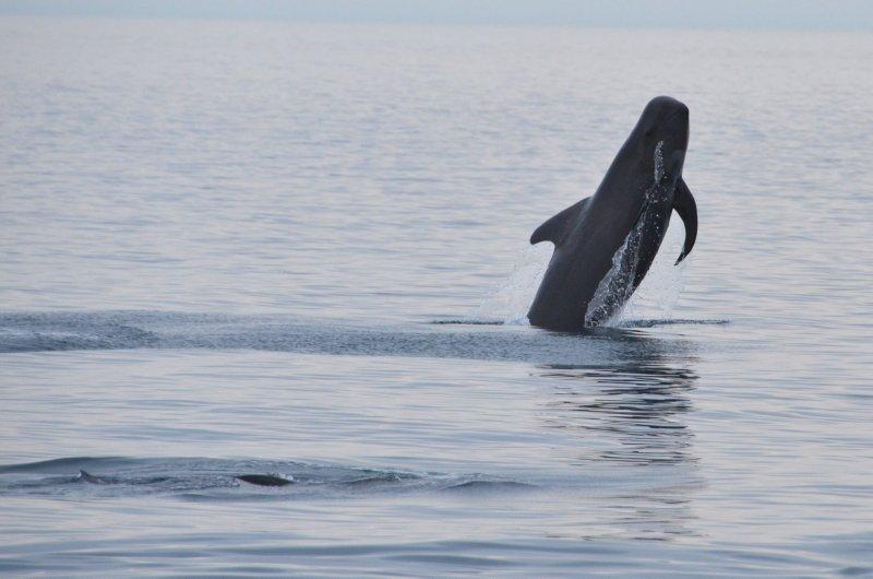 Breaching Pilot Whale