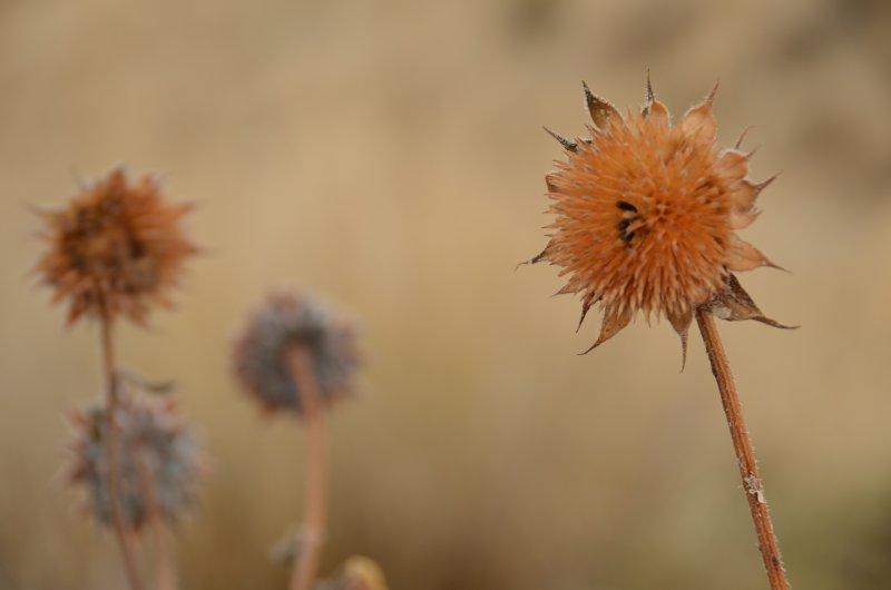 Prairie Sunflowers in Autumn