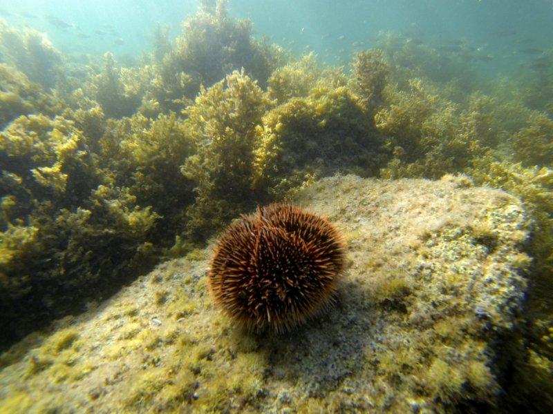 Brown Sea Urchin