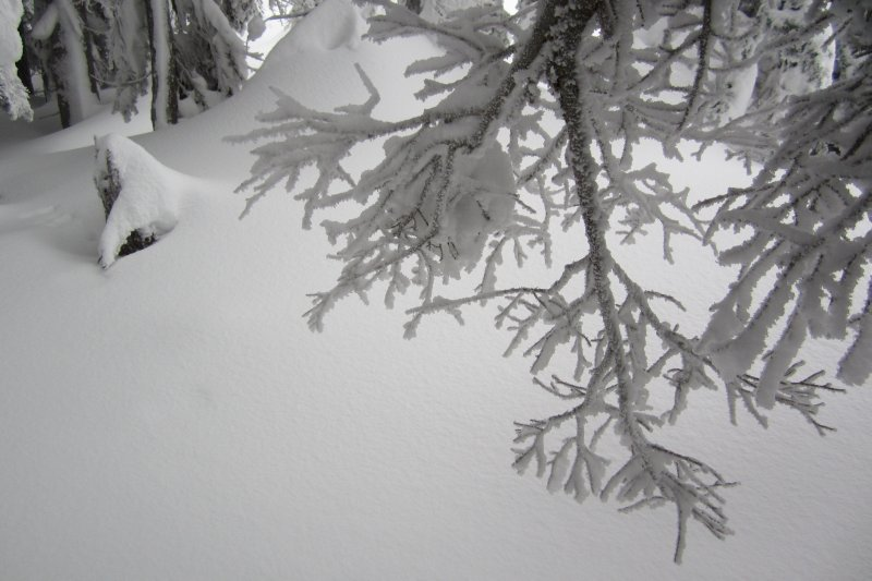 Snow Covered Pine Bow