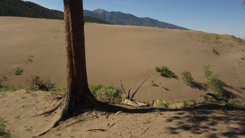 Dune and Pine