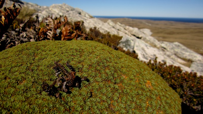 Native Plants of the Falklands