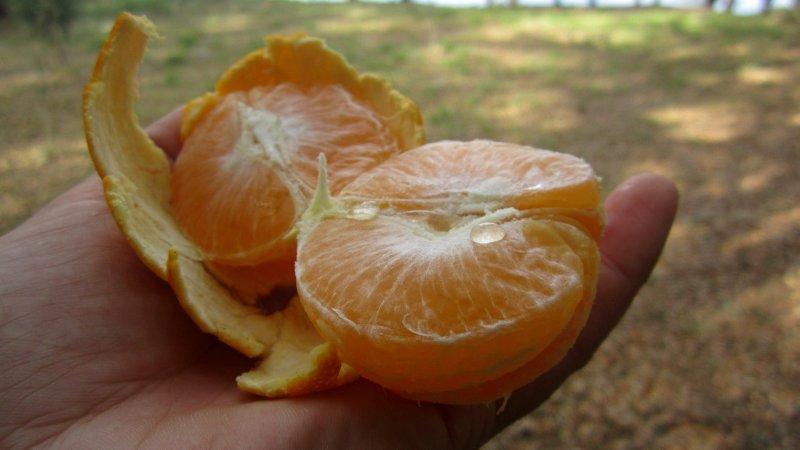 Juicy Orange Off The Tree