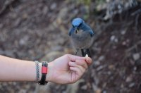 Hand Held Mexican Jay