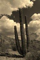 Cardon Cactus and Cloud
