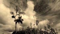 Wildflower Wildskies
