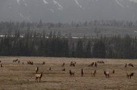 Elk In Winter Pastures