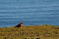 Long Tailed Meadowlark