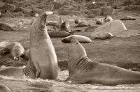 Bull Elephant Seals Fighting