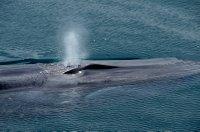 Fin Whale Detail