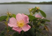 Wild Rose After the Storm