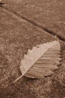Leaf on Sidewalk