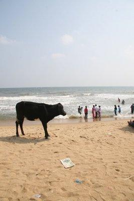 Beach cow!