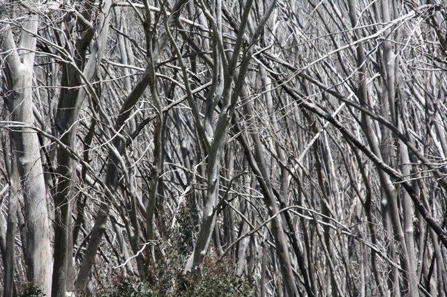 Burnt trees in Mount Kosciuszko National Park