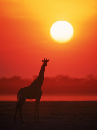 giraffe-silhouette-at-sunset-namibia-etosha-national-park