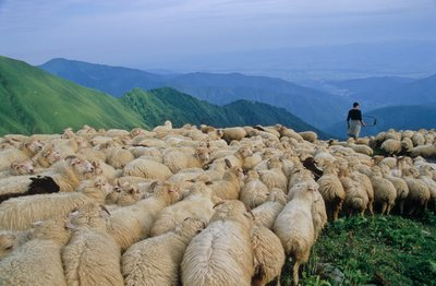 Sheep in Pankisi Valley
