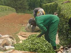 Tea Farm in Nandi Hills (Photo Credit: Bernard Pollack)