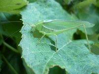 eating grasshoper