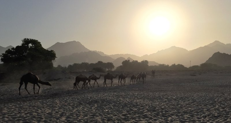 camels on the beach 2