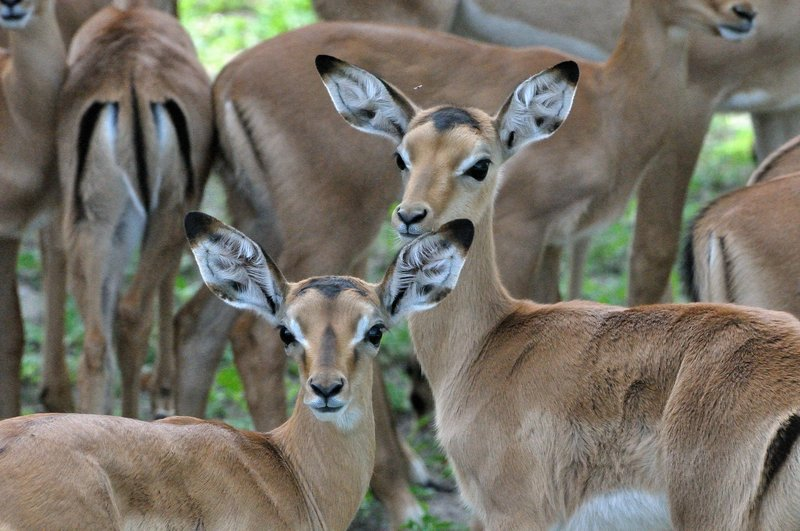 Impala youth