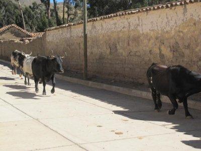 Tarbucos running of the bulls