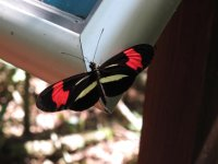 The butterflies were such a variety of intense colours: the red and yellow colours of this butterfly are meant to signal