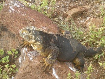 Big Fat Lizard, North Seymour