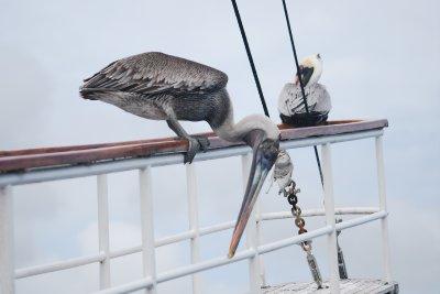 Brown Pelican on board