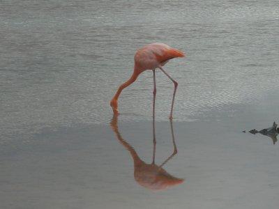 Cormorant Point - Flamingo