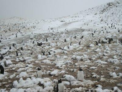 Danco Island- Adelie Penguins