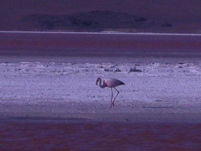 Flamingo on Laguna Colorada