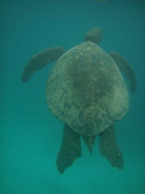 Floreana - Turtle