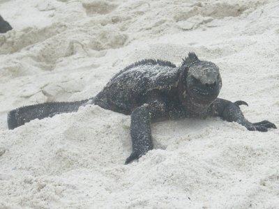 Gardner Bay Marine Iguana