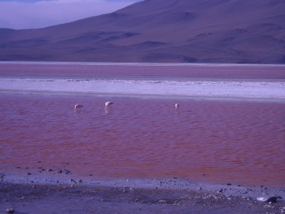 Laguna Colorada and flamingoes