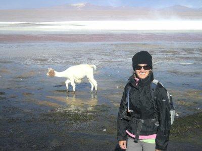 Llama eating on the edge of Lagoona Colorada