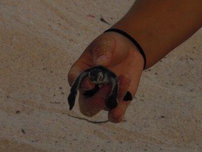 baches beach baby sea turtle