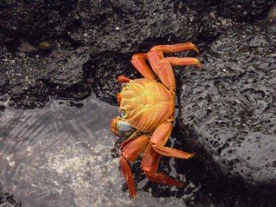 baches beach sally lightfoot crab