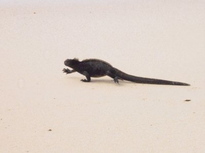 baches beach marine iguana