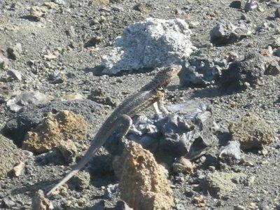 bartolome dancing hot lava lizard