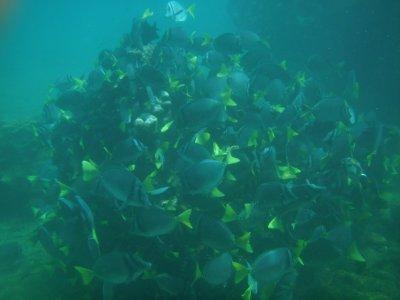 Bartolome Razor Surgeon fish
