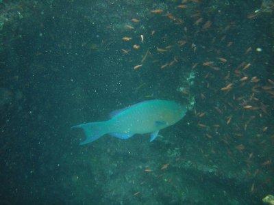 Bartolome parrotfish