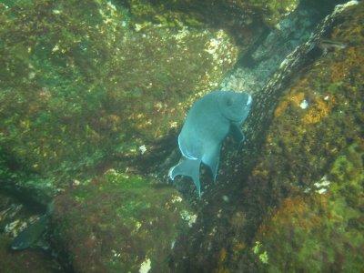 genovesa PPS Giant Damselfish