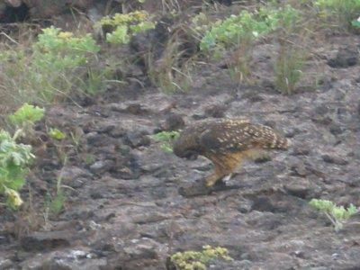 genovesa PPS short eared owl - attacking