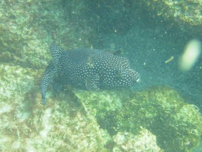 genovesa pufferfish