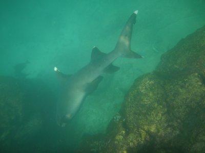 genovesa white tipped reef shark