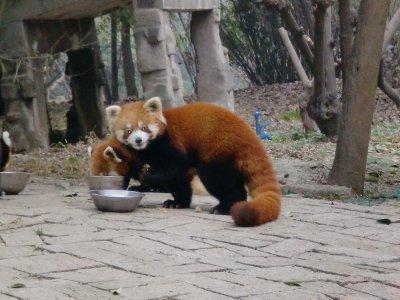 red panda cute little fella