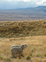 tp-2005030..n-sheep.jpg